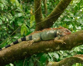 Green Iguana Project At Kekoldi Indian Reserve